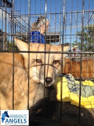 Mt  Hope Small Animal Sale & Flea Market, OH 7/21/12