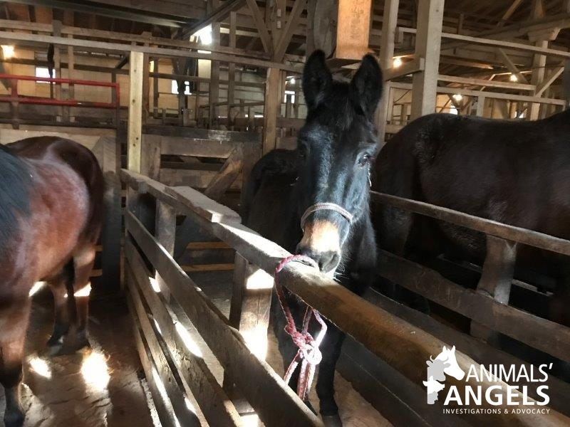 Middleburg Horse Auction, Middleburg, PA